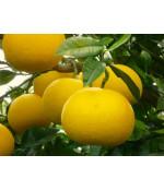 Соус цитрусовых лимона Юдзу и померанца, 1800мл  Kishida